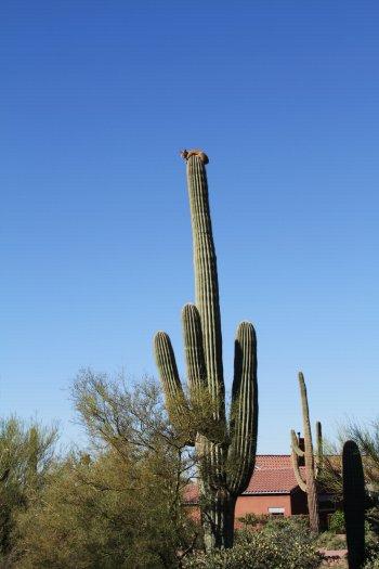catonacactus.jpg