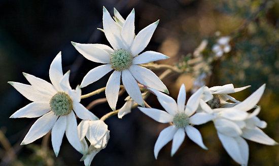flannel-flowerfioreaustraliano.jpg