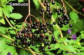 Sambucus-nigra_9.jpg