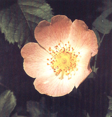 wild rose - fiore di bach